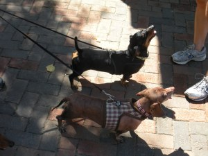 We met two weenies in the parking lot on our way in.  Dachshund party!