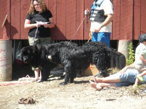 Some of the Newfies from the demo team after being in the water.