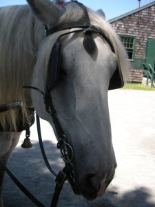 This is Joe, he is a percheron and one of the horses who pull the wagon around the Seaport.