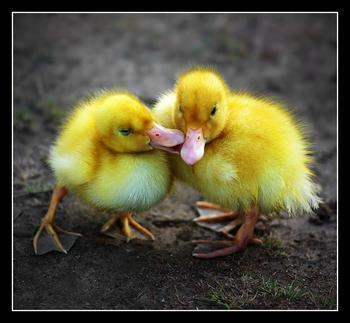 gay ducklings