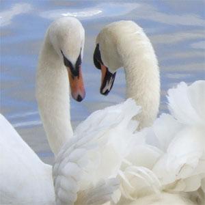 gay swans